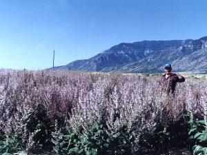 Clary Sage Mona Utah